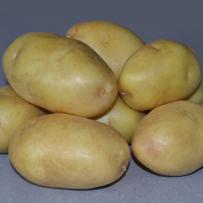 Семенной картофель «Импала». Клубни овальной формы, кожура желтая.