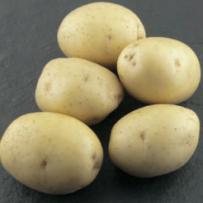 Семенной картофель «Коломба». Форма клубня овальная, кожура гладкая светло-желтая.