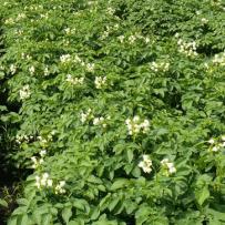 Семенной картофель сорта «Импала». Цветение картофеля в поле