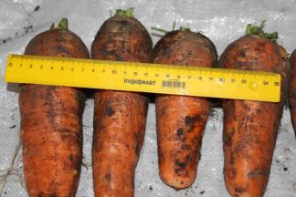 Продаем морковь «Шантане»