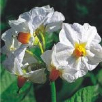 Цветение семенного картофеля Гала