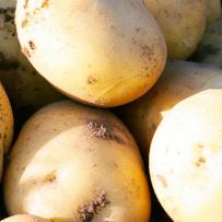 Семенной картофель «Нандина». Клубень овальный.