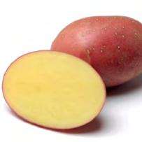 Семенной картофель «Ред Соня». Клубень овальный.