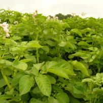 Семенной картофель «Колетте». Цветение картофеля в поле.