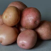 Семенной картофель «Романо». Клубни овальной формы, кожура розовая.