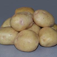 Семенной картофель «Невский». Клубни округло-овальной формы, кожура белая.