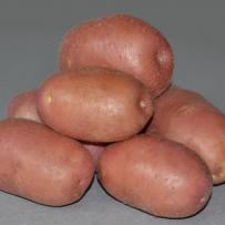 Семенной картофель «Ред Скарлетт». Клубни овальной формы, кожура красная.